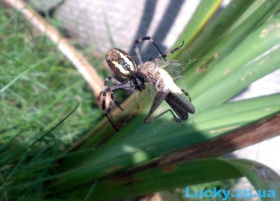 паук против кузнечика