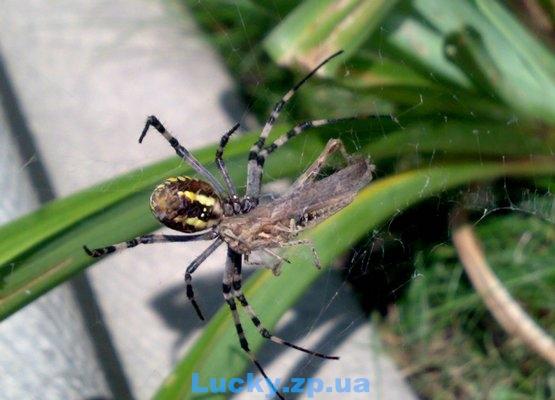 паук кусает жертву